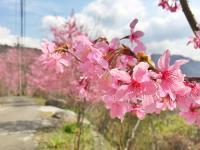 許一個粉紅色假期  春遊桃園賞櫻趣