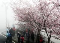 阿里山公路櫻花盛開