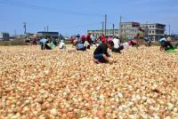 洋蔥盛產  百噸免費撿