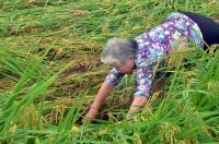 連日雨 東部水稻倒伏嚴重