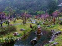 春游赏樱趣 阳明山昭和樱盛开