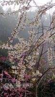 北橫櫻花綻放 花期至4月10日