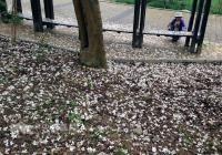 油桐花嘉義綻放 白色花毯吸睛