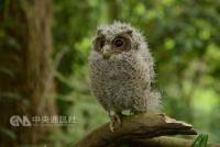 想看貓頭鷹不用到郊區  台北市區就有