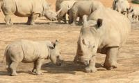 六福村邀民眾守護犀望 為犀牛發聲