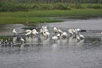 黑面琵鷺過境新竹香山濕地 正是賞鳥好時節