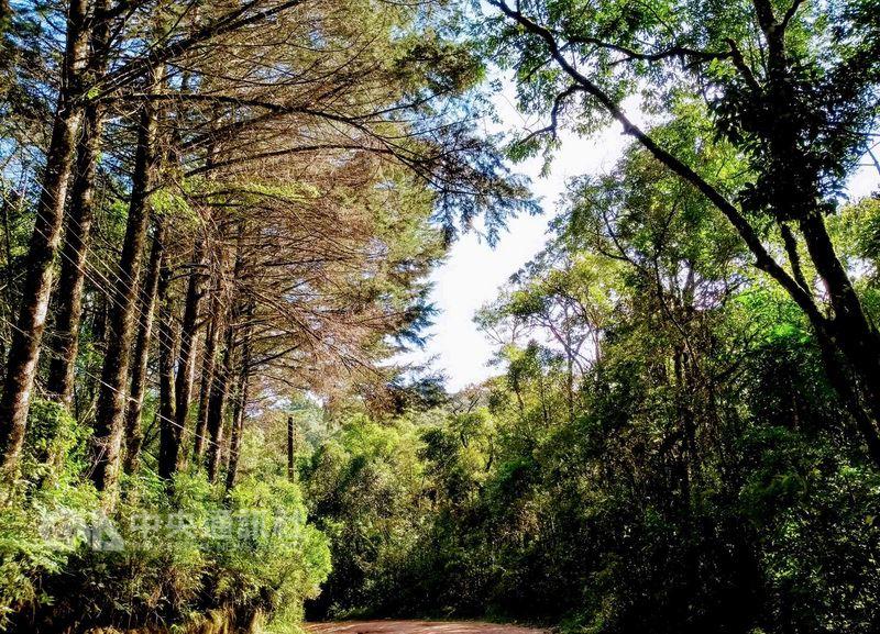 巴西米納斯州南部的綠山-蒙特維地,四周圍繞著參天古松和杉樹林,蓊鬱中帶點舒爽,景緻宜人。中央社記者唐雅陵蒙特維地攝107年3月9日