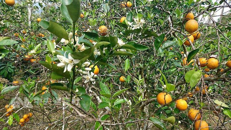 農民林建國說,原名晚崙夏橙的香丁每年2、3月開花,必須等到隔年的3、4月第二代開花、結果時,才可以採收,生長過程中,可以看到鮮紅果實和白色花朵共生的奇特現象。中央社記者盧太城攝 107年3月18日