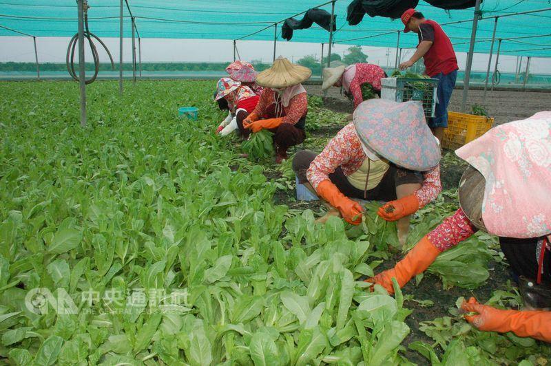 根據研究預測,全球暖化將讓各地蔬菜產量下滑,導致菜價上漲,食安和健康都受波及。圖為菜農收成。(中央社檔案照片)