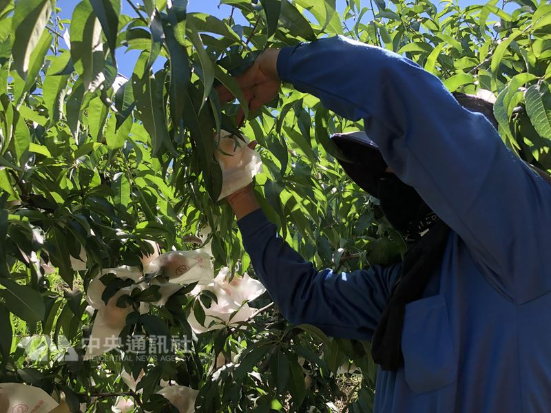 台中市梨山地區農友為確保水蜜桃的品質,在颱風前夕,僅採收成熟度夠的水蜜桃,此次瑪莉亞颱風過境,為梨山帶來雨水,滋潤了正值果實膨脹期的水蜜桃,果實的水分增加,口感也更好。(民眾提供)中央社記者趙麗妍傳真 107年7月11日
