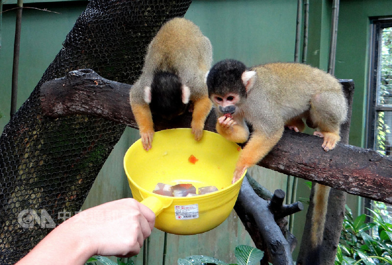 台北市立動物園以富含花青素的蝶豆花製成果凍讓黑冠松鼠猴當成點心,黑冠松鼠猴一開始拿到果凍就到旁邊享用,嚐到甜頭後就開始爭先恐後搶食。(台北市立動物園提供)中央社記者梁珮綺傳真 107年9月12日